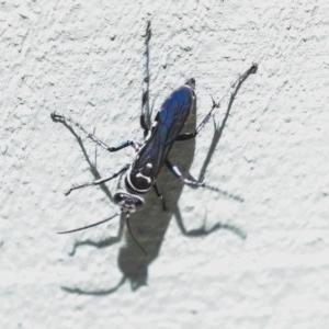Turneromyia sp. (genus) at Fyshwick, ACT - 10 Nov 2019