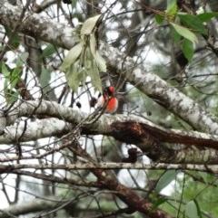 Petroica goodenovii (Red-capped Robin) at Lake Avon - 4 Nov 2017 by JanHartog
