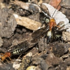 Braconidae sp. (family) (Unidentified braconid wasp) at Higgins, ACT - 28 Dec 2019 by AlisonMilton