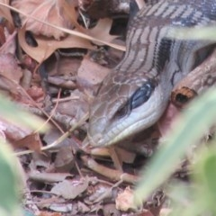 Tiliqua scincoides scincoides (Eastern Blue-tongue) at Campbell, ACT - 2 Jan 2020 by Campbell2612
