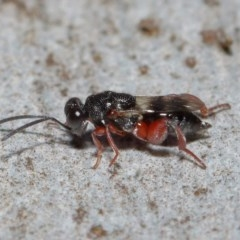 Chalcididae sp. (family) (Unidentified chalcid wasp) at ANBG - 11 Jun 2019 by TimL