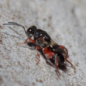 Chalcididae sp. (family) at ANBG - 11 Jun 2019