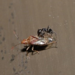 Lygaeidae sp. (family) (Seed bug) at ANBG - 20 Sep 2019 by TimL