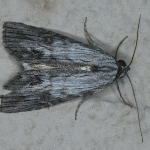 Calathusa ischnodes at Ainslie, ACT - 1 Jan 2020