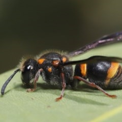 Eumeninae sp. (subfamily) (Unidentified Potter wasp) at ANBG - 13 Nov 2019 by TimL
