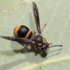 Eumeninae sp. (subfamily) at ANBG - 13 Nov 2019