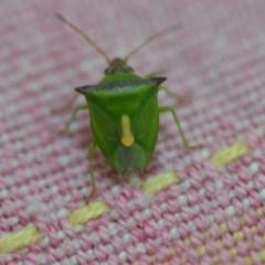 Cuspicona thoracica (Shield bug) at Wamboin, NSW - 1 Nov 2019 by natureguy