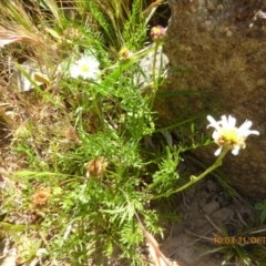 Calotis anthemoides (Chamomile burr-daisy) at Molonglo Valley, ACT - 30 Oct 2019 by AndyRussell