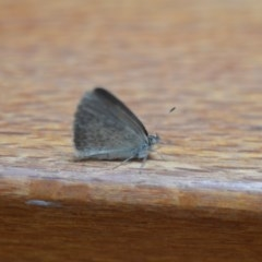 Zizina otis (Common Grass-blue) at Wamboin, NSW - 16 Nov 2019 by natureguy