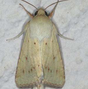 Australothis rubrescens at Ainslie, ACT - 1 Jan 2020