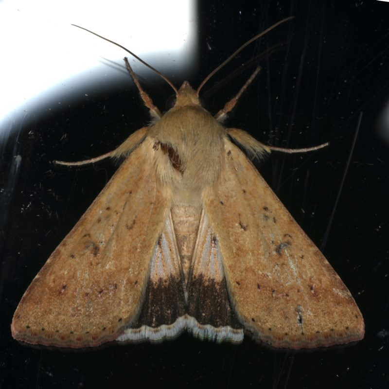 Helicoverpa punctigera at Ainslie, ACT - 1 Jan 2020