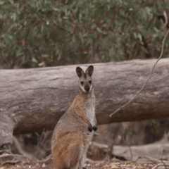 Macropus rufogriseus (Red-necked Wallaby) at Majura, ACT - 6 Jan 2020 by Sunbird