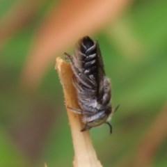 Megachile (Eutricharaea) sp. (subgenus) (Leaf-cutter Bee) at Waramanga, ACT - 6 Jan 2020 by AndrewZelnik