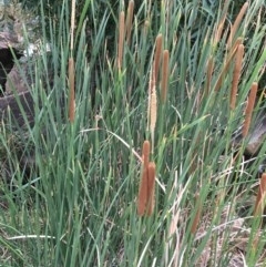 Typha domingensis (Narrow-leaved Cumbungee) at Yass, NSW - 6 Jan 2020 by JaneR