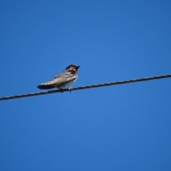 Hirundo neoxena (Welcome Swallow) at Alpine - 19 Dec 2016 by JanHartog