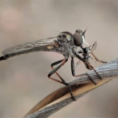 Cerdistus sp. (genus) (Robber fly) at Mount Painter - 6 Jan 2020 by CathB