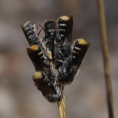 Megachile (Hackeriapis) tosticauda (Native tosticauda resin bee) at Sth Tablelands Ecosystem Park - 8 Nov 2019 by AndrewZelnik