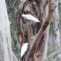 Cacatua galerita (Sulphur-crested Cockatoo) at Garran, ACT - 6 Jan 2020 by JackyF