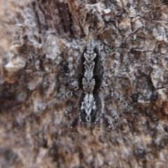 Clynotis severus (Stern Jumping Spider) at Symonston, ACT - 7 Jan 2020 by Christine
