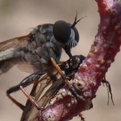 Cerdistus sp. (genus) (Robber fly) at Symonston, ACT - 7 Jan 2020 by Christine