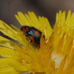 Dicranolaius villosus (Melyrid flower beetle) at Sth Tablelands Ecosystem Park - 8 Nov 2019 by AndrewZelnik