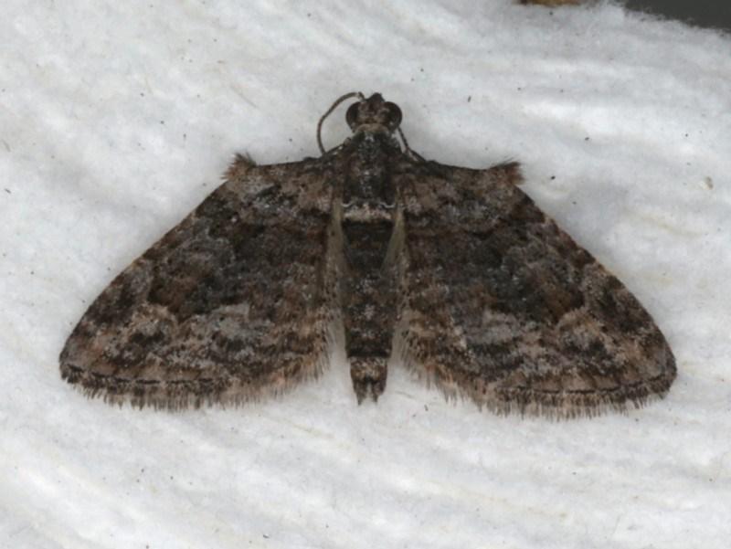 Phrissogonus laticostata at Ainslie, ACT - 31 Dec 2019