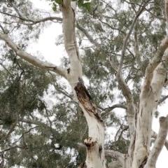 Callocephalon fimbriatum (Gang-gang Cockatoo) at Hughes, ACT - 6 Jan 2020 by ruthkerruish