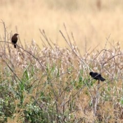 Turdus merula (Common Blackbird) at Jerrabomberra Wetlands - 6 Jan 2020 by RodDeb