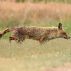 Vulpes vulpes (Red Fox) at Jerrabomberra Wetlands - 6 Jan 2020 by RodDeb