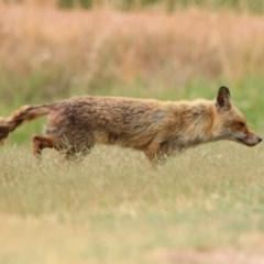 Vulpes vulpes (Red Fox) at Fyshwick, ACT - 6 Jan 2020 by RodDeb