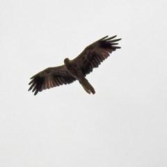Haliastur sphenurus (Whistling Kite) at Jerrabomberra Wetlands - 6 Jan 2020 by RodDeb