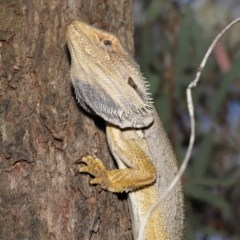 Pogona barbata (Eastern Bearded Dragon) at ANBG - 20 Nov 2019 by Tim L