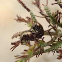 Ditropidus sp. (genus) (Leaf beetle) at Mount Painter - 2 Jan 2020 by CathB