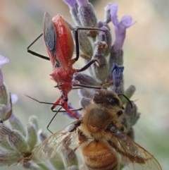 Gminatus australis (Orange Assassin Bug) at Spence, ACT - 8 Jan 2020 by Laserchemisty