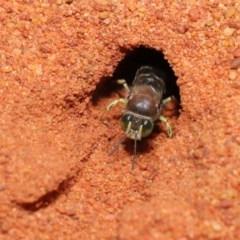 Bembix sp. (genus) (Unidentified Bembix sand wasp) at ANBG - 22 Nov 2019 by TimL