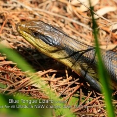 Tiliqua scincoides (Eastern Blue-tongue) at One Track For All - 27 Dec 2019 by Charles Dove