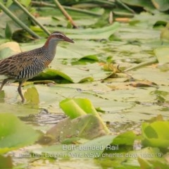 Hypotaenidia philippensis (Buff-banded Rail) at Wairo Beach and Dolphin Point - 29 Dec 2019 by Charles Dove