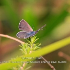 Zizina otis labradus (Common Grass-blue) at One Track For All - 29 Dec 2019 by Charles Dove