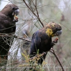 Calyptorhynchus lathami (Glossy Black-cockatoo) at South Pacific Heathland Reserve - 1 Jan 2020 by Charles Dove