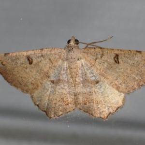 Dissomorphia australiaria at Ainslie, ACT - 30 Dec 2019