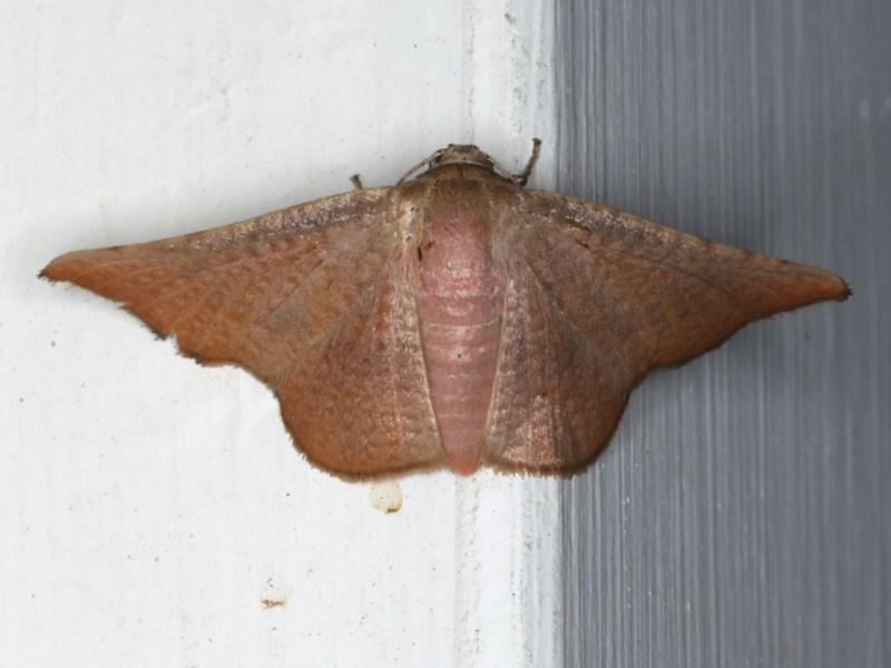 Aglaopus centiginosa at Ainslie, ACT - 30 Dec 2019