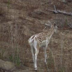 Dama dama (Fallow Deer) at Cotter River, ACT - 8 Jan 2020 by SandraH