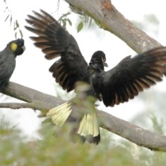 Calyptorhynchus funereus (Yellow-tailed Black-Cockatoo) at Penrose State Forest - 8 Jan 2020 by Snowflake