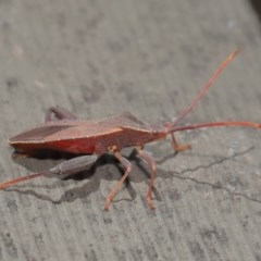Amorbus sp. (genus) (Tip bug) at ANBG - 26 Nov 2019 by TimL