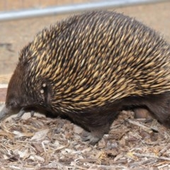 Tachyglossus aculeatus (Short-beaked Echidna) at ANBG - 26 Nov 2019 by Tim L