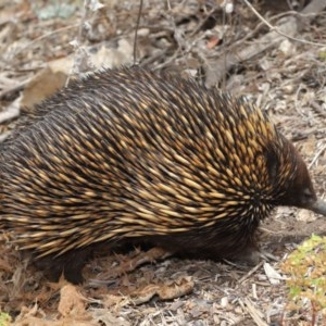 Tachyglossus aculeatus at ANBG - 26 Nov 2019
