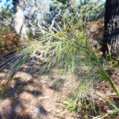 Austrostipa sp. (Speargrass) at Guerilla Bay, NSW - 24 Oct 2019 by annielane
