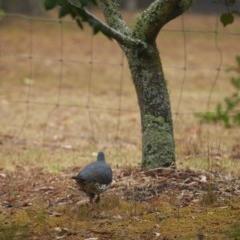 Leucosarcia melanoleuca (Wonga Pigeon) at Bundanoon, NSW - 7 Jan 2020 by Boobook38