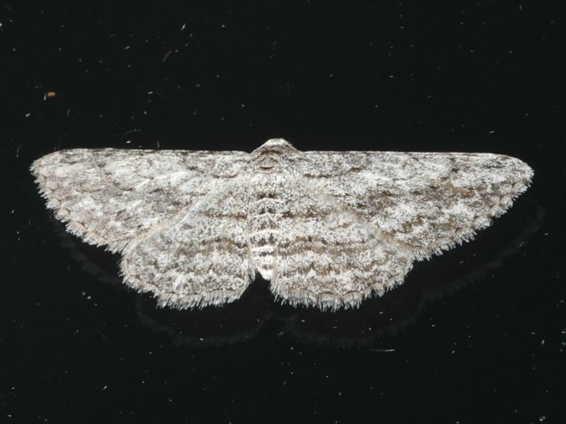 Phelotis cognata at Ainslie, ACT - 30 Dec 2019