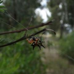Austracantha minax (Christmas Spider, Jewel Spider, Spiny Spider) at Alpine, NSW - 24 Dec 2018 by JanHartog